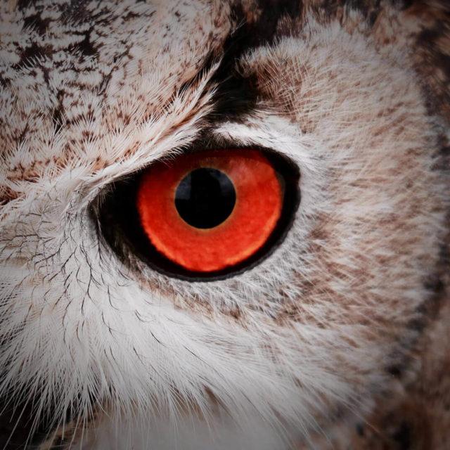 eye-of-night-bird